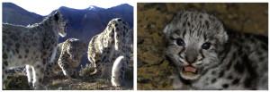 snow-leopard-trust